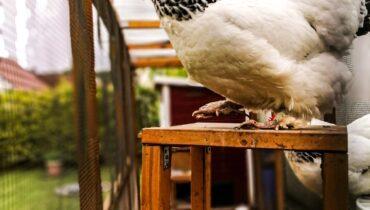 chicken, chicken coop, white