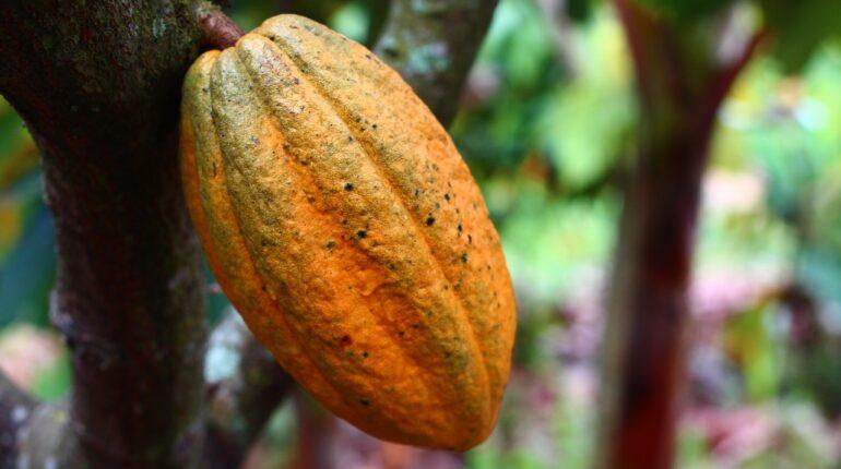 cocoa, cultivation,