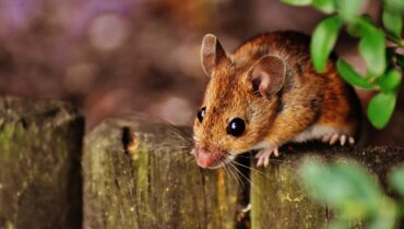 mouse, rodent, cute