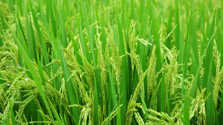 rice, field, paddy