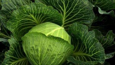cabbage, cultivation, vegetables