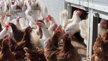 chicken, hen, factory farming