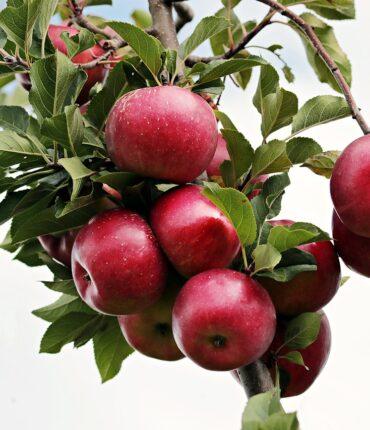 apple, red, red apple-2788599.jpg